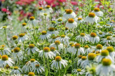Manfaat Echinacea sebagai Multivitamin untuk Daya Tahan Tubuh agar Tetap Sehat